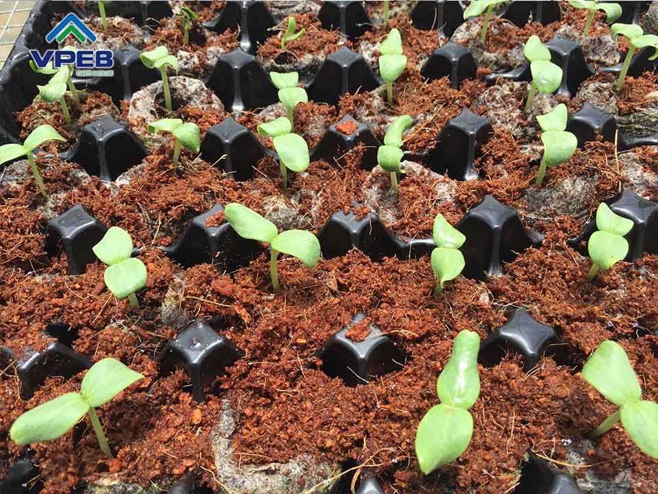 Hạt giống đã nảy mầm chuẩn bị đưa vào giá thể