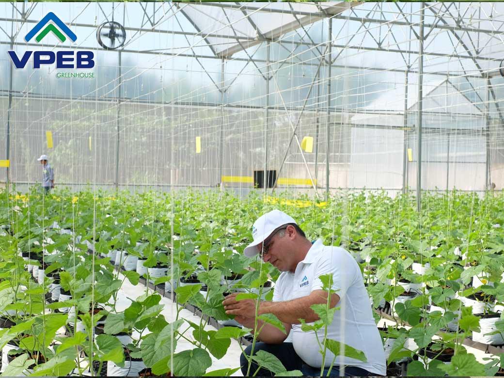Kỷ sư nông nghiệp VPEB GREENFARM đang chăm sóc dưa lưới