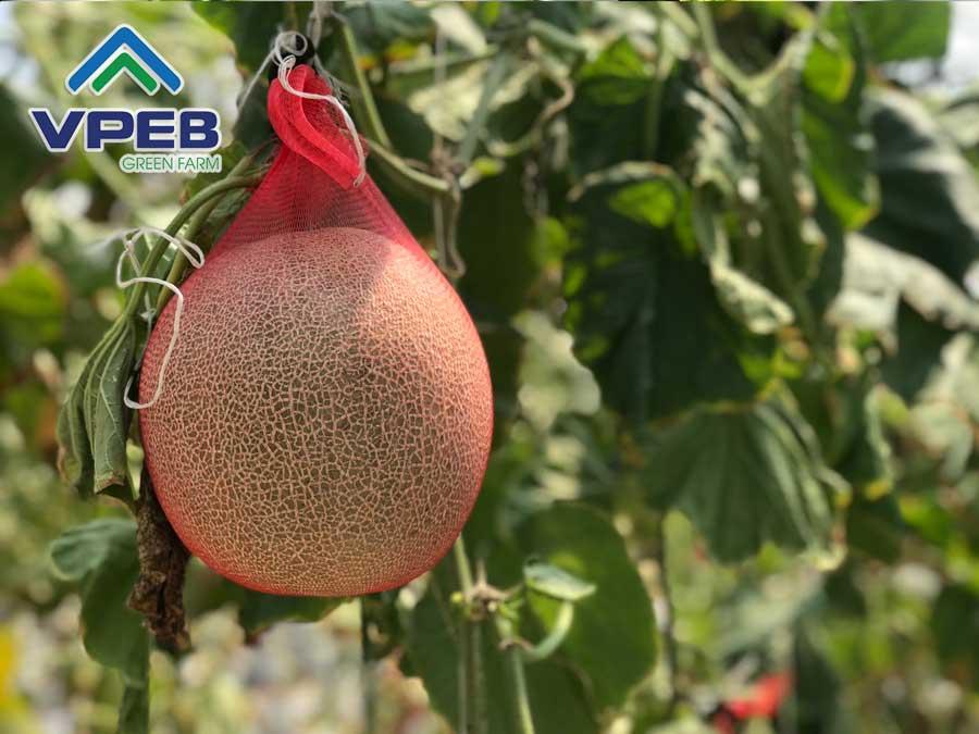 Dưa lưới sạch được trồng theo quy trình chuẩn nông nghiệp công nghệ cao