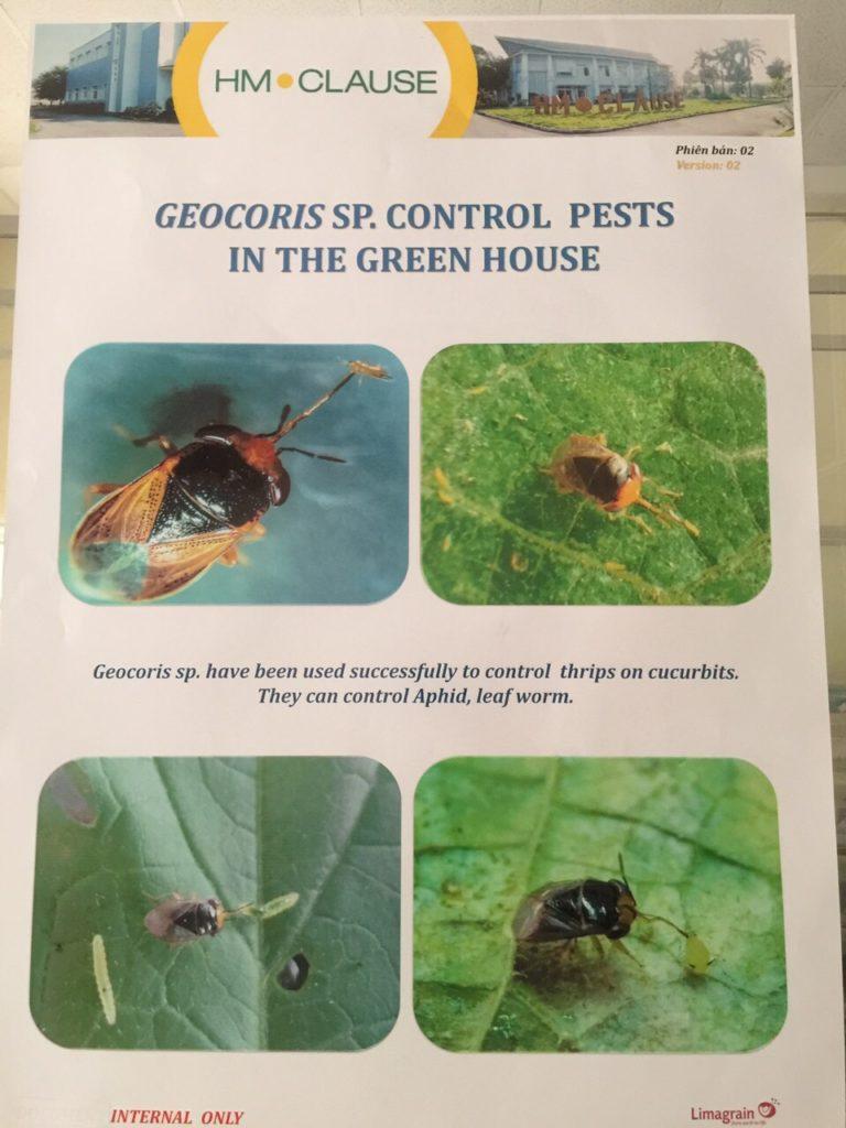 Thiên địch ăn các loại côn trùng gây hại trong nhà kính trồng dưa lưới