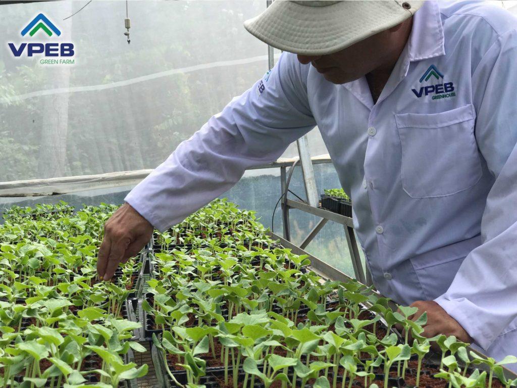 Chăm sóc cây con giống dưa lưới tại vườn ươm