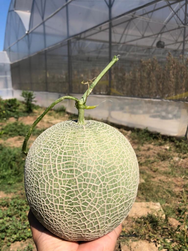 Dưa lưới đã được thu hoạch tại VPEB GREENHOUSE