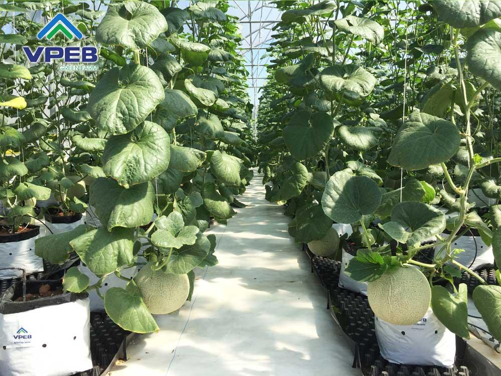 Dưa lưới VPEB sắp thu hoạch