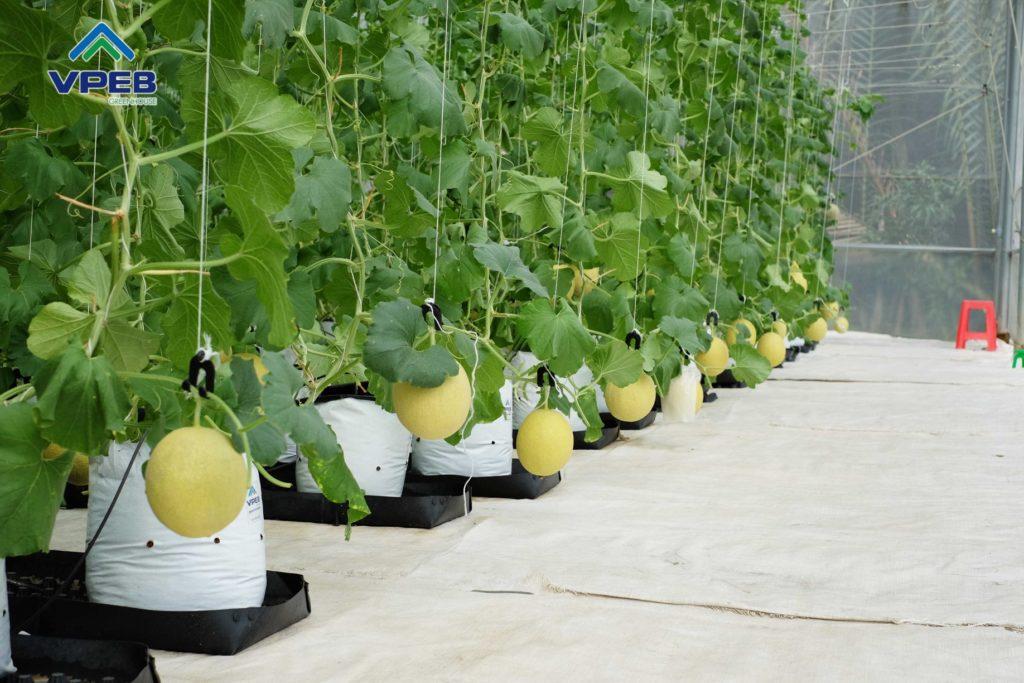VPEBGREENHOUSE - Giải pháp trồng dưa lưới tổng thể từ a-z
