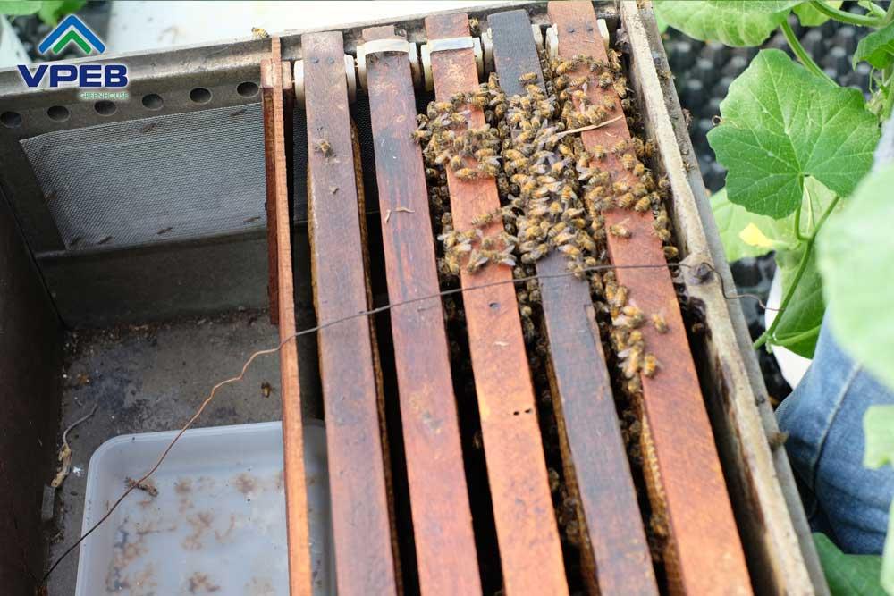 Nuôi ong để thụ phấn dưa lưới