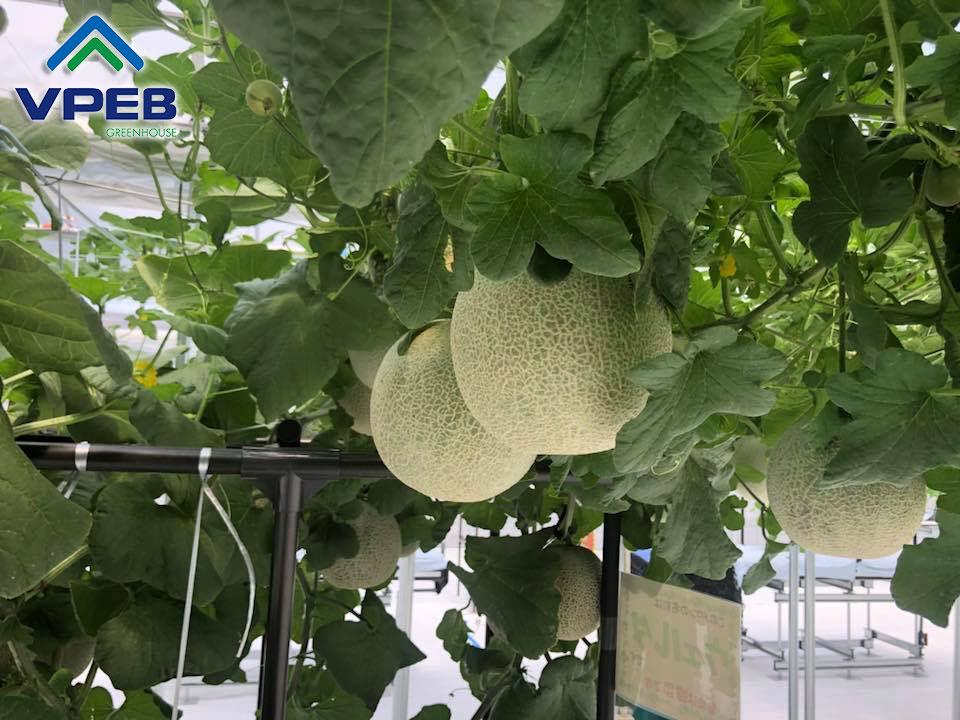 Farm dưa lưới được trồng tại Nhật Bản
