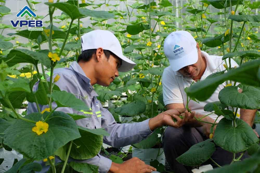 Đội ngũ nhân viên VPEB chăm sóc dưa lưới