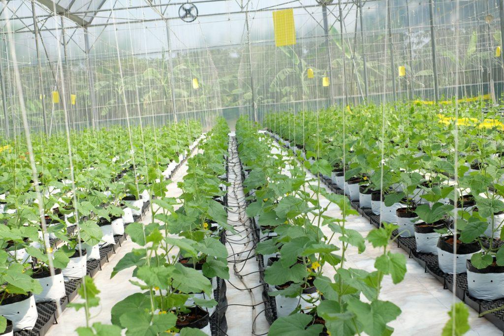 Bạt phủ được trải giúp cách ly nền đất và giúp vệ sinh sạch sẻ, tránh được các mầm bệnh, giúp cây sinh trưởng phát triển tốt
