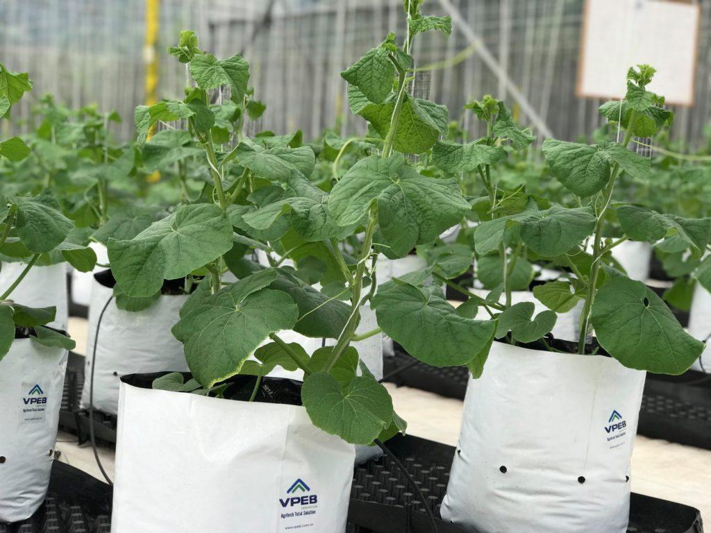 Túi giá thể là nơi cung cấp chất dinh dưỡng để dưa lưới phát triển