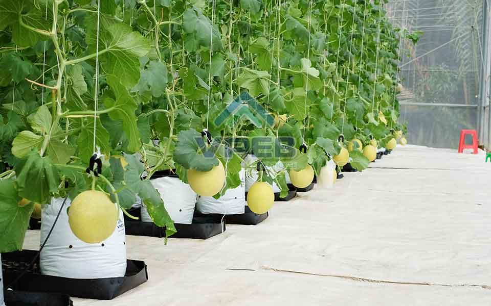 Mô hình kỹ thuật thuật trồng dưa lưới trong nhà kính, nhà màng nông nghiệp